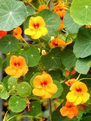 Fiche plante : Capucine | Jardinage | Plante jardin, Jardins et Cultiver son jardin