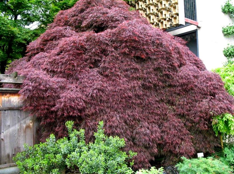 Crimson Queen Japanese Maple Japanese maple, Landscaping