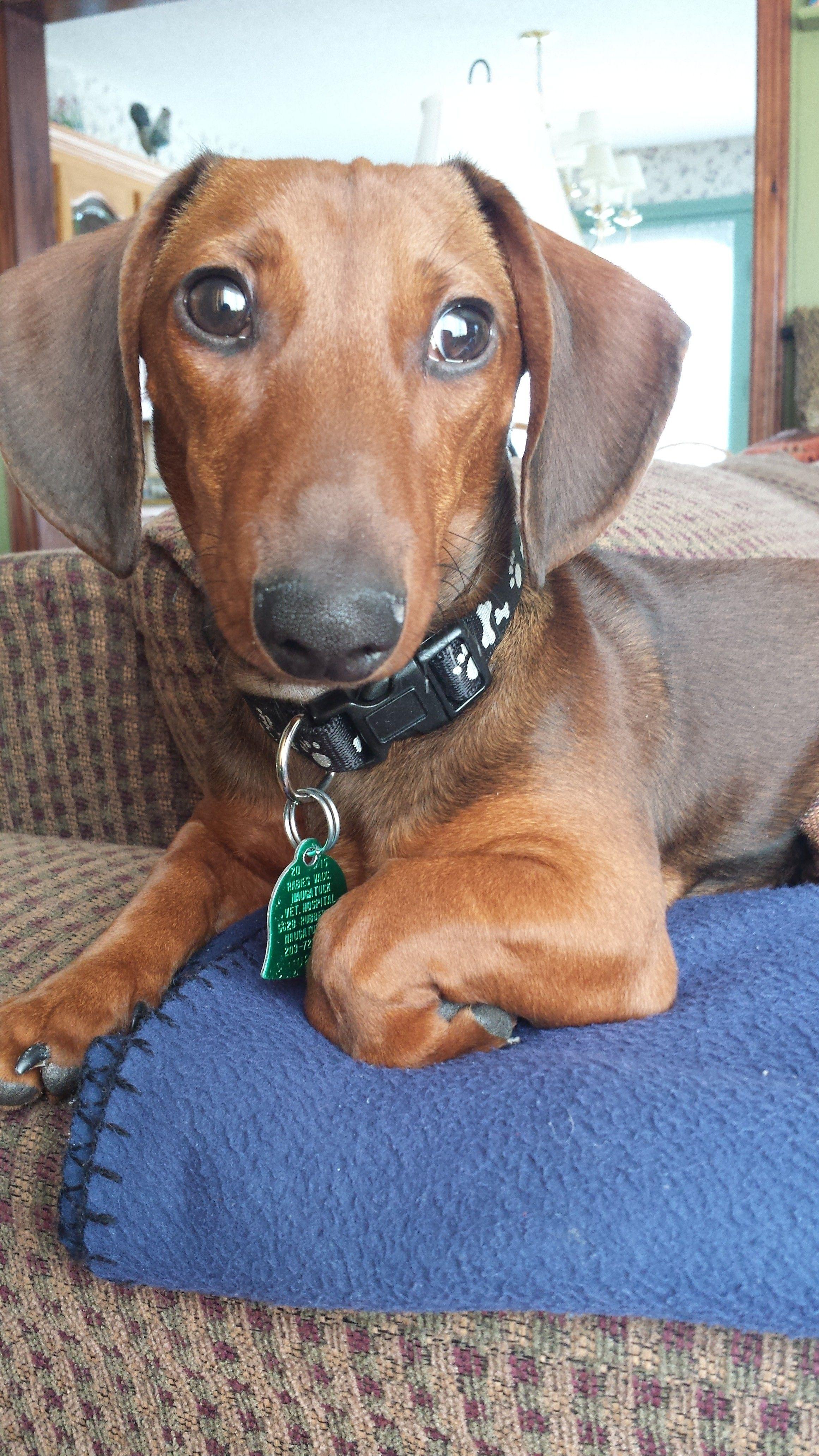 Dachshund Dog For Adoption In Stonyford Ri Adn 738536 On