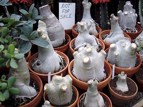 Adenium obesums. I have no idea why do they cut their heads of but there must be a reason.