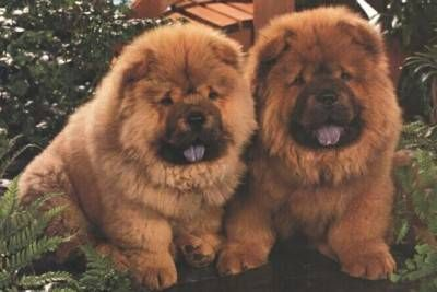 Chow Chow Dog Is Smart Loyal And Good Companion Chow Chow Chow