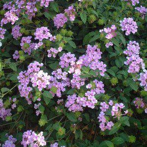 lantana montevidensis nombre popular tipolog a arbusto