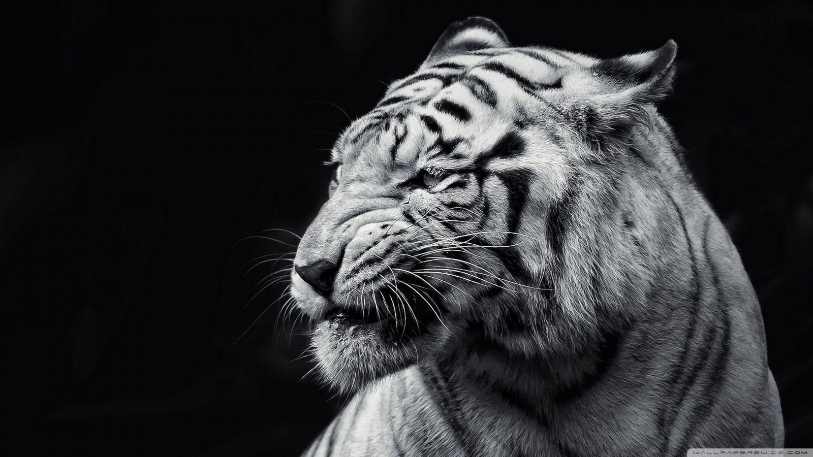 Download Gambar Wallpaper Hd Black Tiger Terbaru 2020 Hewan Harimau Putih Harimau