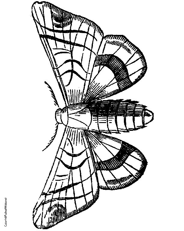 moth illustration line drawingsmothcoloring pagesinsectsanimalillustration