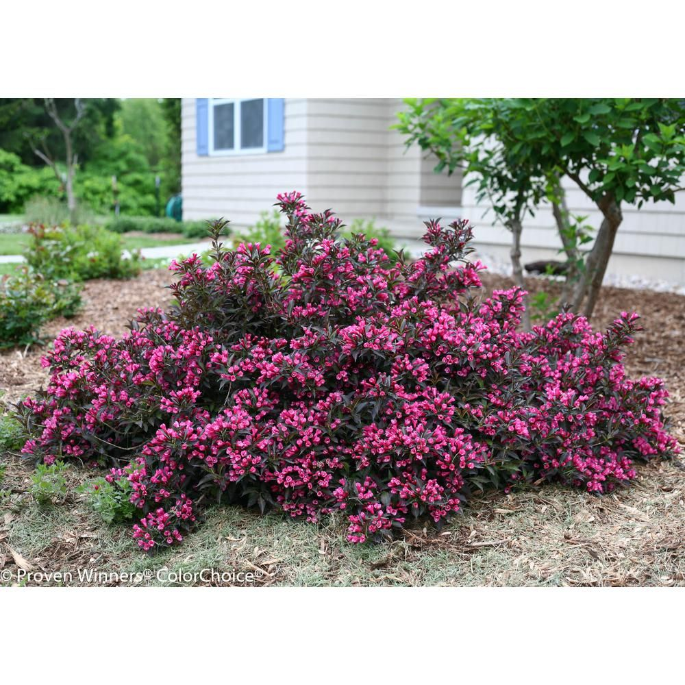 Proven Winners 1 Gal Spilled Wine Weigela Florida Live Shrub
