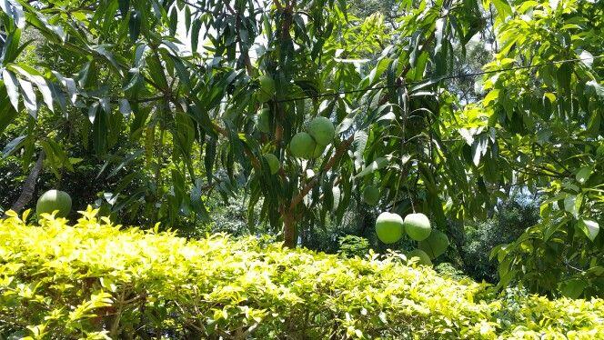Frutos de mi tierra guaraní  Recrean su carnosa fruta ante el hambre  Asunción, Paraguay  Corazón de América  del Sur