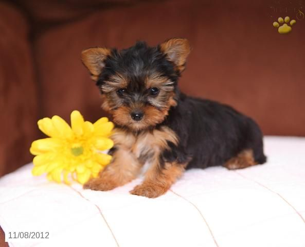 Harmony Yorkiepoo Puppy for Sale in Paradise, PA
