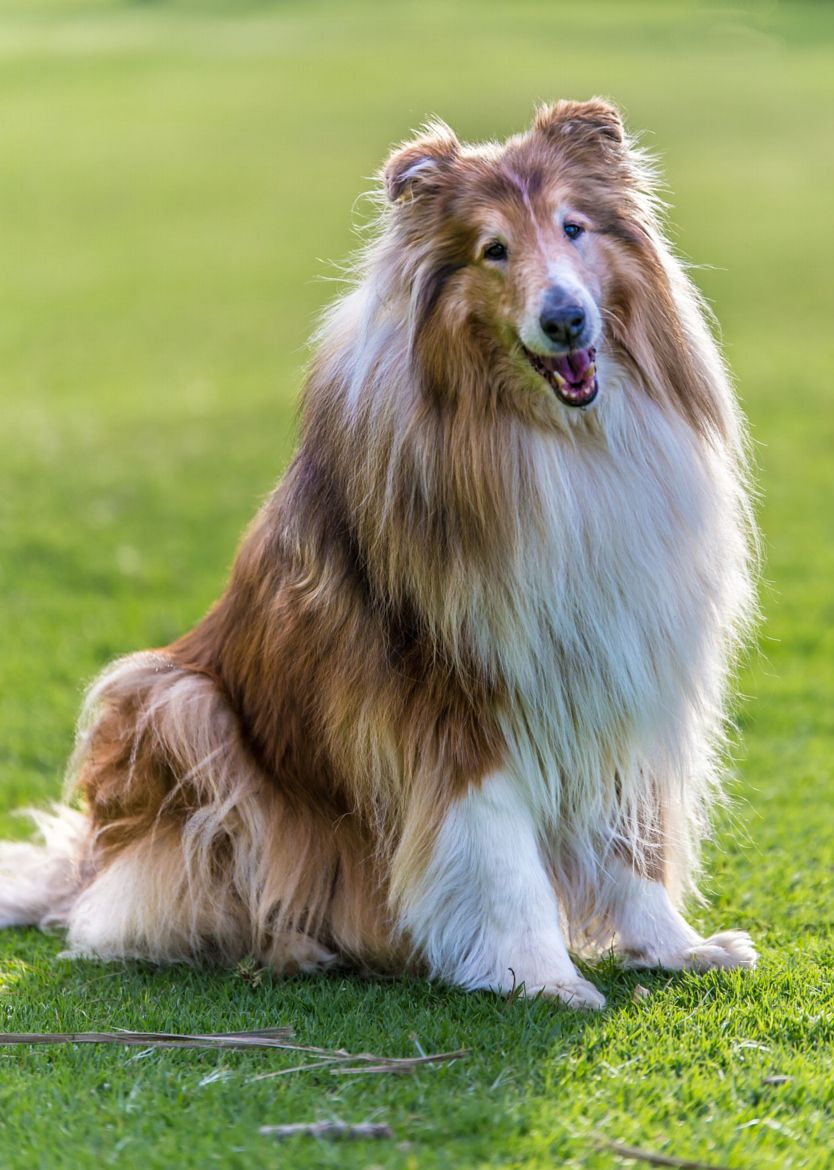 Lovely Old Rough Collie Rough Collie Sheep Dog Puppy Herding