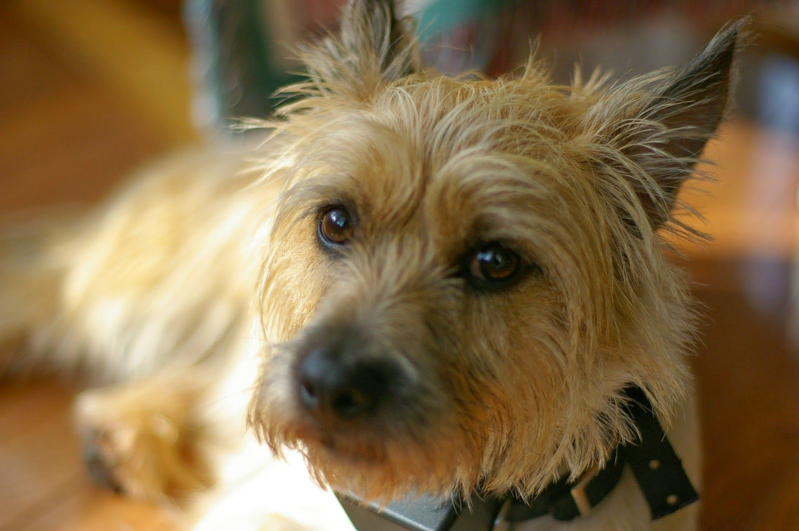 Cairn Terrier Dog Cute Pictures Of Cairn Terrier Puppies Gallery