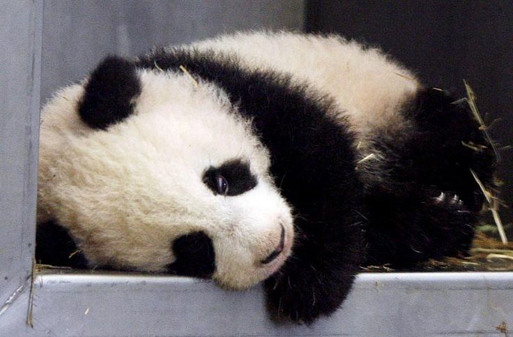 Baby Panda Pictures - TOP 10 Cutest Photos Ever Taken - Top Inspired