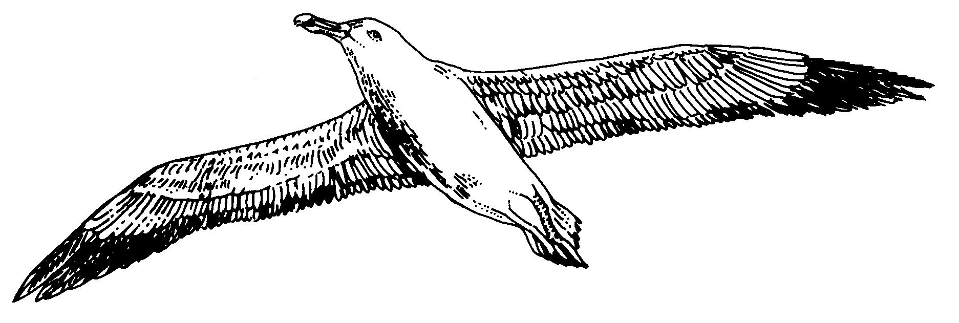 Albatross Art Drawing Images Art Drawing Images Bird Drawings Art