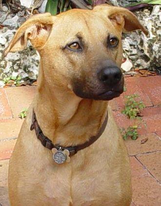 Dog Breeds In India Popular Indian Dog Breeds Petguide Com