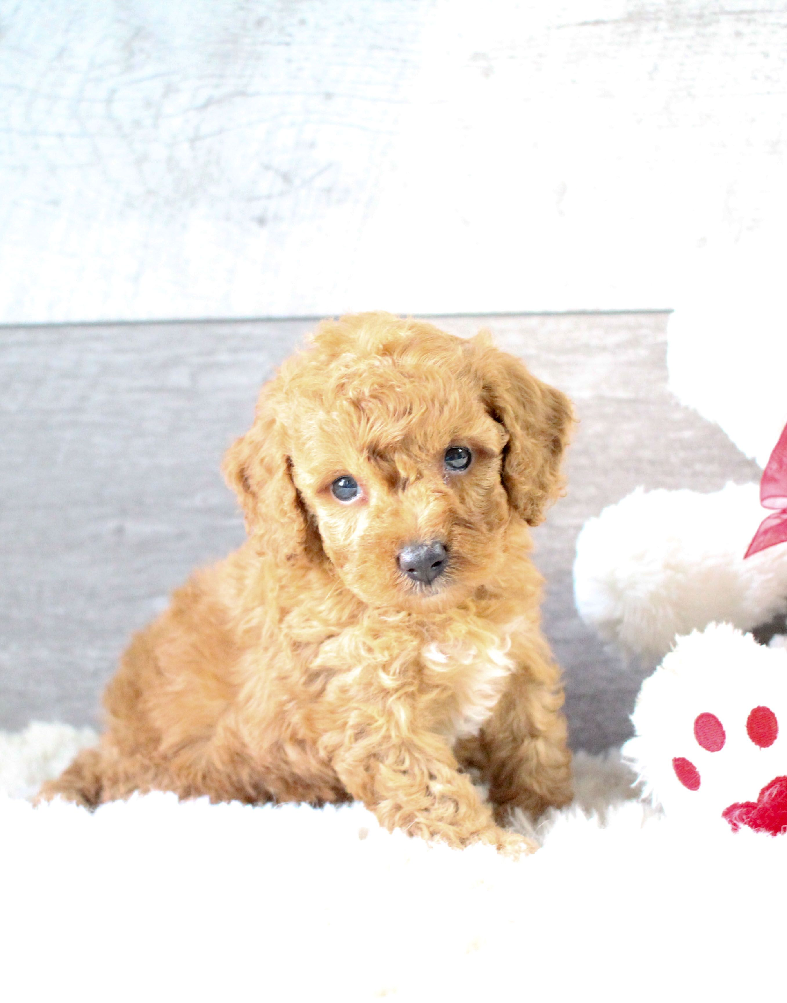 Cute Lovely Awesome Is The Poodle That Is A Sweet