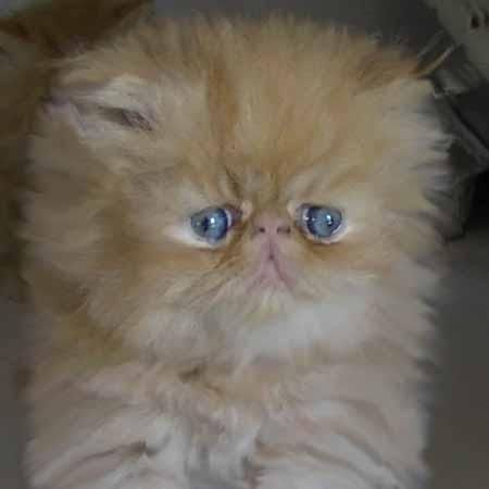 Compri Orange Blossom Persian Cat White Persian Cats For Sale Himalayan Kittens For Sale