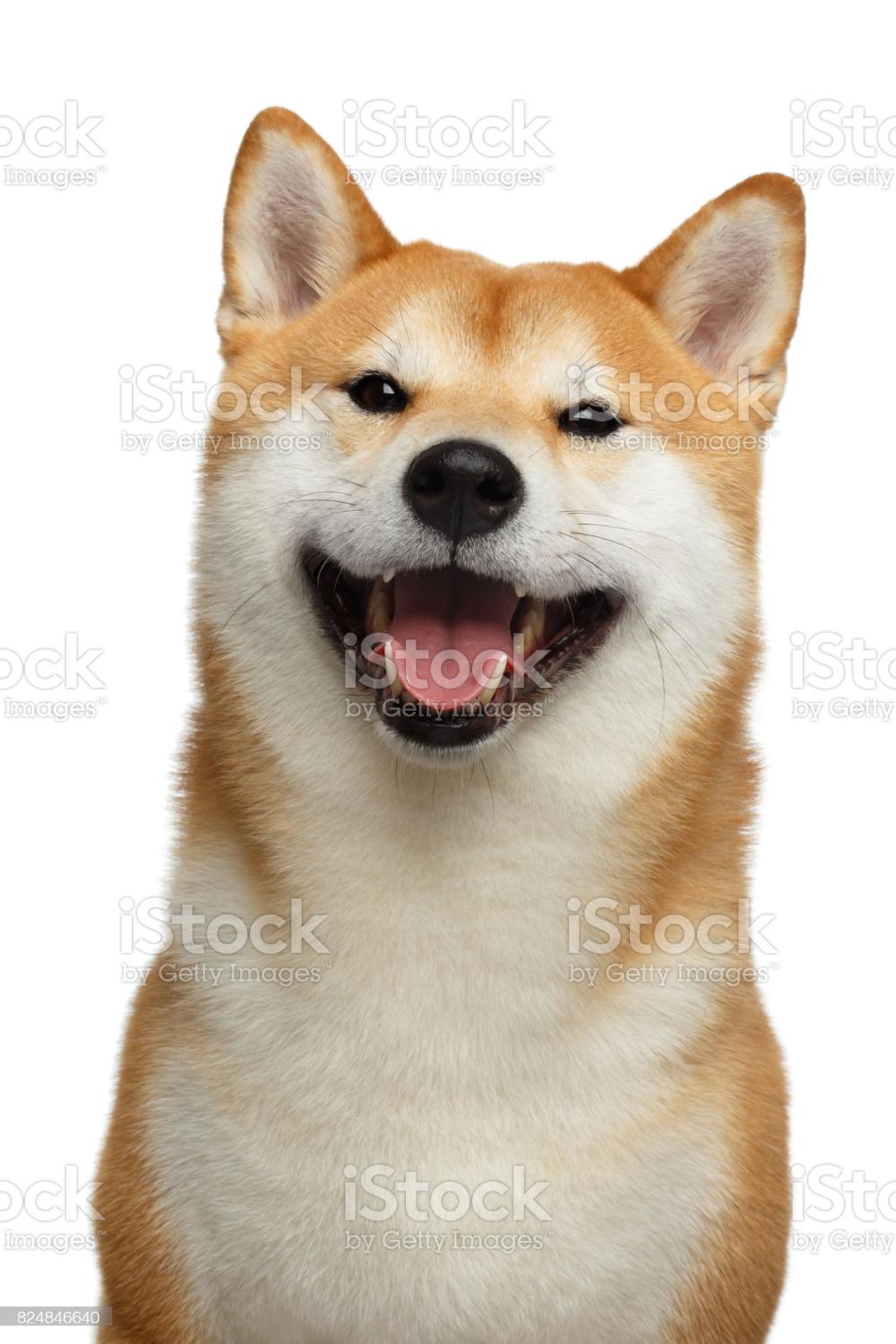 Cute Portrait Of Smiling Shiba Inu Dog On Isolated White Background Shiba Inu Dog Dog Stock Photo Shiba Inu