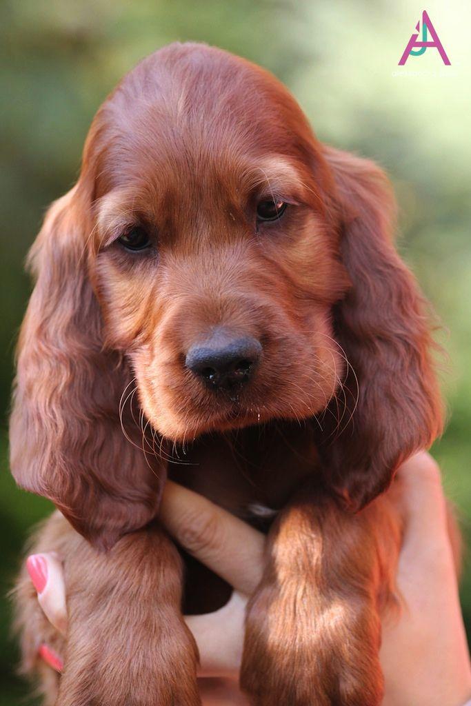 Orange Boy Spaniel Puppies Irish Setter Puppy Irish Setter Dogs