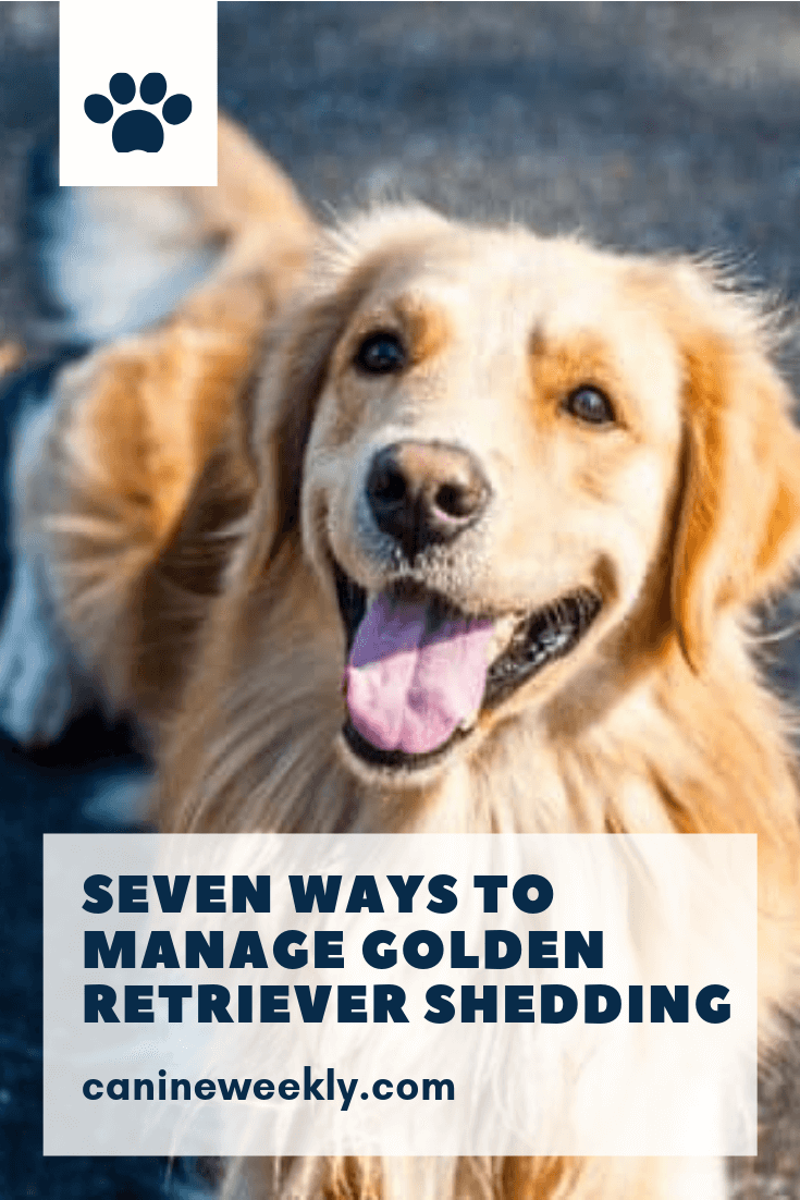7 Ways to Manage Golden Retriever Shedding Dog shedding