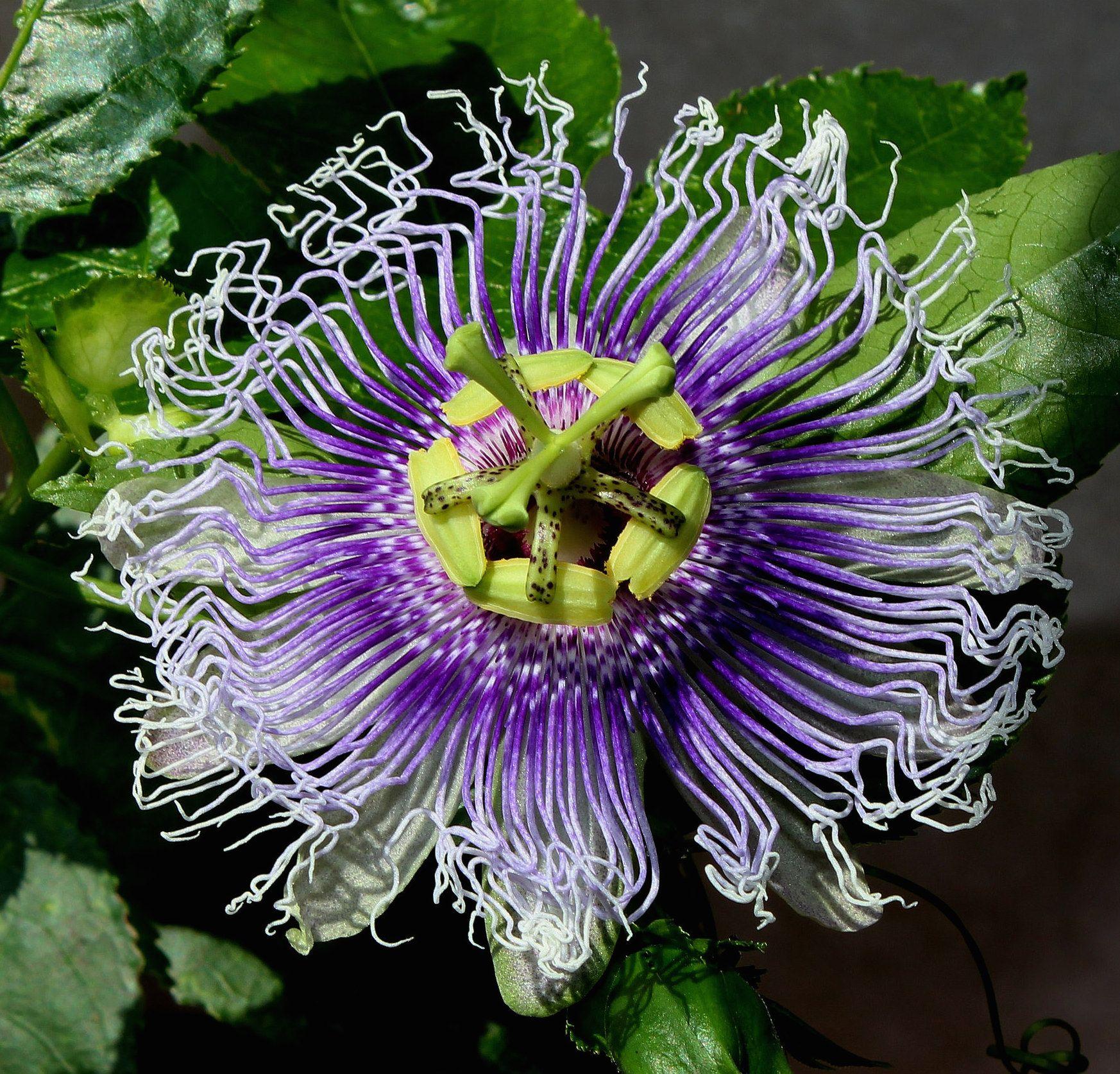 Passiflora Byron Beauty Passion Flower Passiflora Flowers