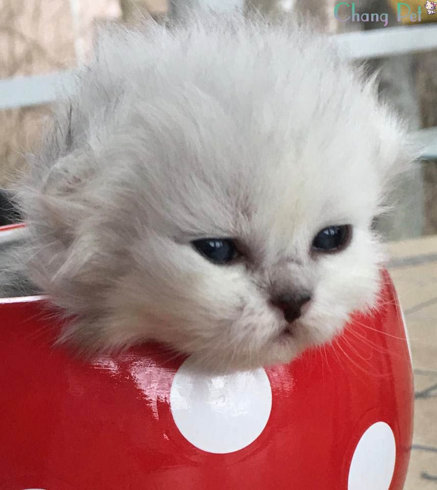 Persian 5 Cats And Kittens Cat Breeds Kittens Playing