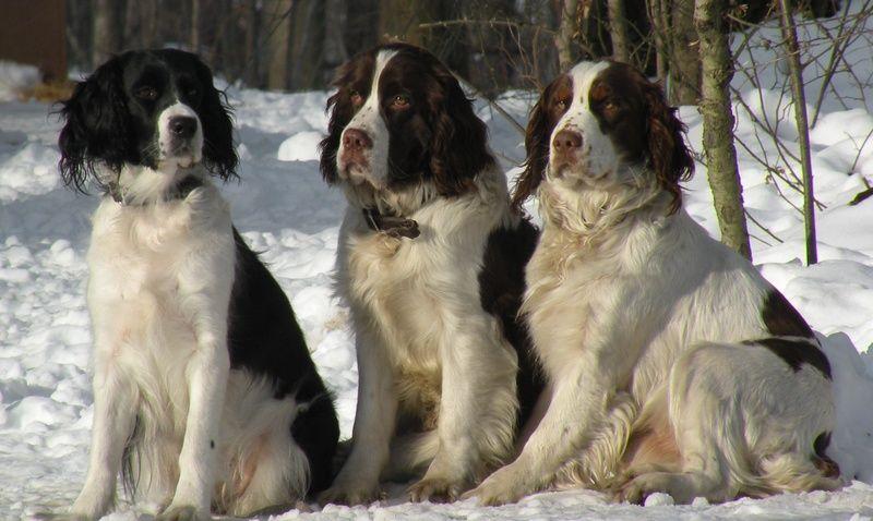 Blacky Copper Maggie Birddoghill Com Springer Spaniel Springer Spaniel Puppies English Springer Spaniel