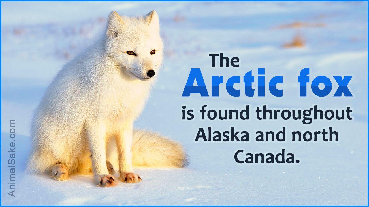 Arctic Fox Adaptations Arctic fox adaptations, Arctic