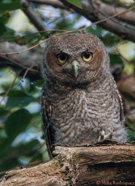 screech-owls-june2012-7 by Mike Rodriquez, via Flickr
