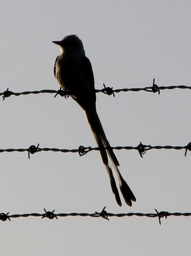 Scissor-tailed Flycatcher Silhouette | Barbed wire tattoos ...