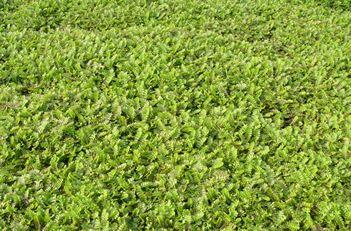 Leptinella Potentillina Verdigris Brass Buttons Hojas Plantas