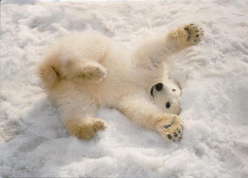 polar bear baby | Ice Bears.... | Pinterest