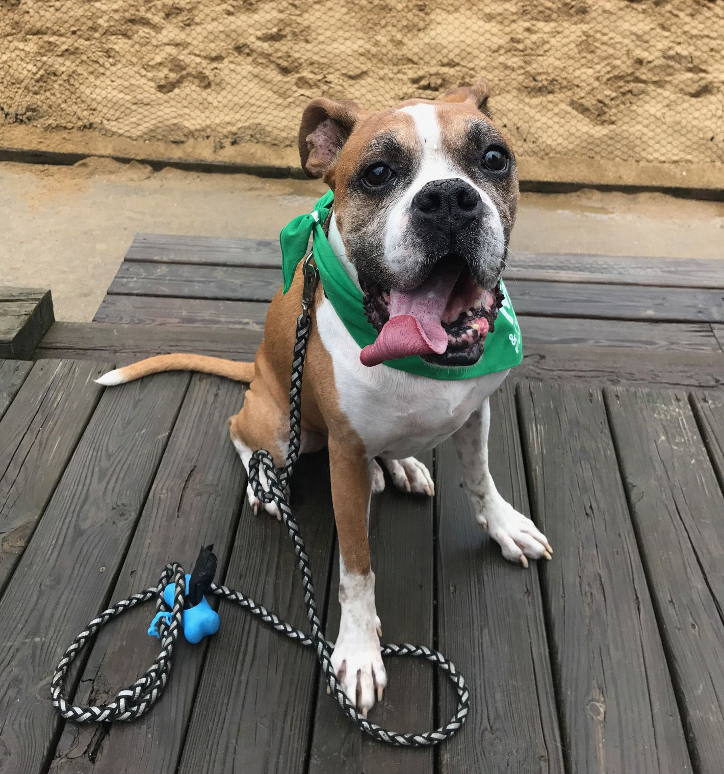 Boxer dog for Adoption in Akron, OH. ADN652101 on