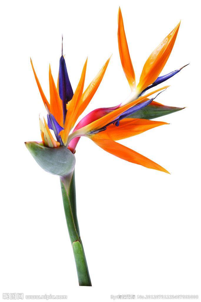 Image From Http I01 I Aliimg Com Wsphoto V0 1984436197 6 Free Shipping 1 Lot 20 Seeds Annual Birds Of Paradise Flower Paradise Plant Birds Of Paradise Plant