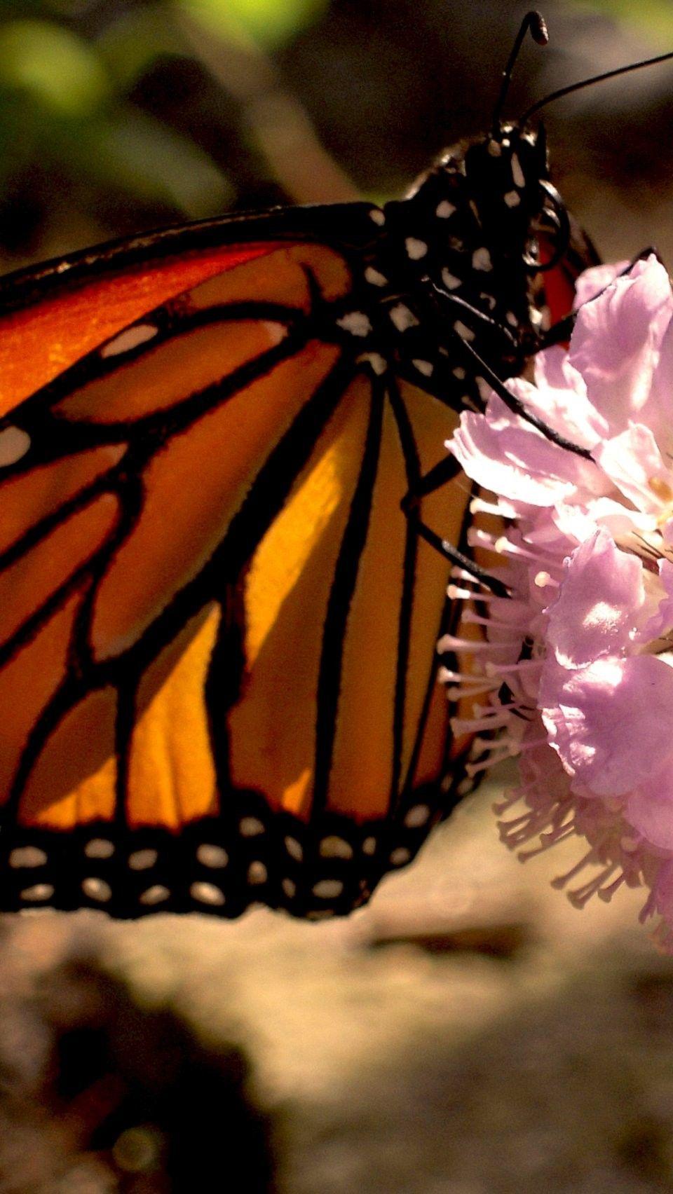 butterfly iPhone 6 wallpaper - Butterflies iPhone 6 ...