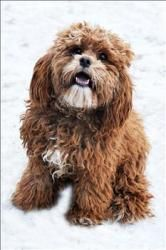 Mulberry Wrigley Is An Adoptable Cockapoo Dog In Duluth Mn Looking For Love Well I Did Have A Human Once But I Seem Cockapoo Dog Dogs Dogs And Puppies