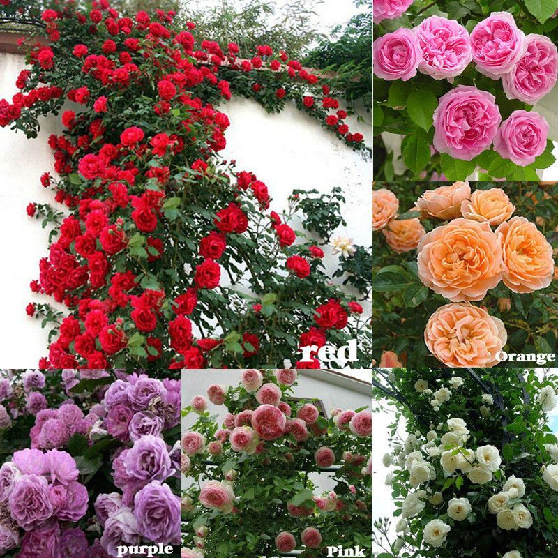 100pcs climbing rose seeds rosa multiflora perennial fragrant flower 100pcs climbing rose seeds rosa multiflora perennial fragrant flower home decor mightylinksfo