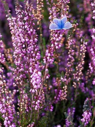 Norway State Symbols Song Flags And More Heather Flower Purple Flowers Scottish Heather