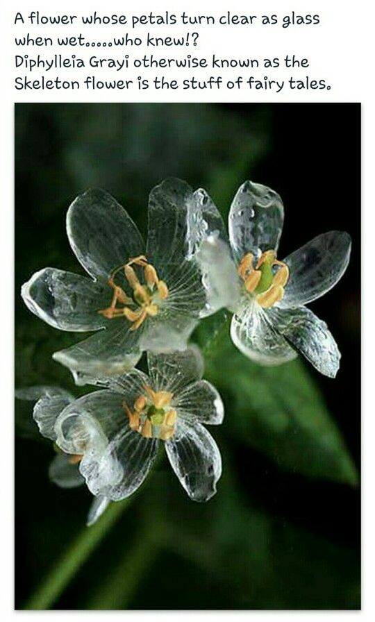 Diphylleia Gray ~ Skeleton flower. The petals go clear when they get wet.