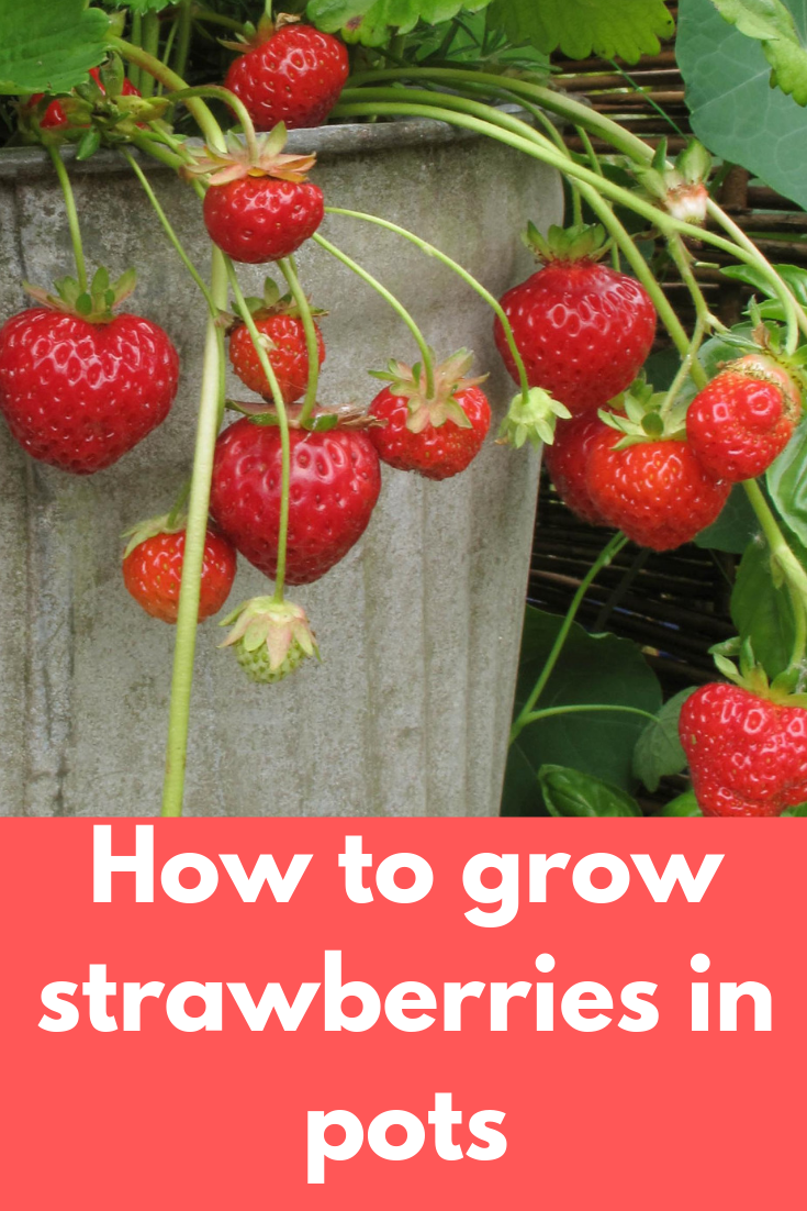 Easy Tips For Growing Strawberries In Pots Growing Strawberries