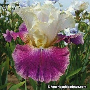 Pink and White Bearded Iris High Priestess, Iris germanica, Bearded Iris or German Iris