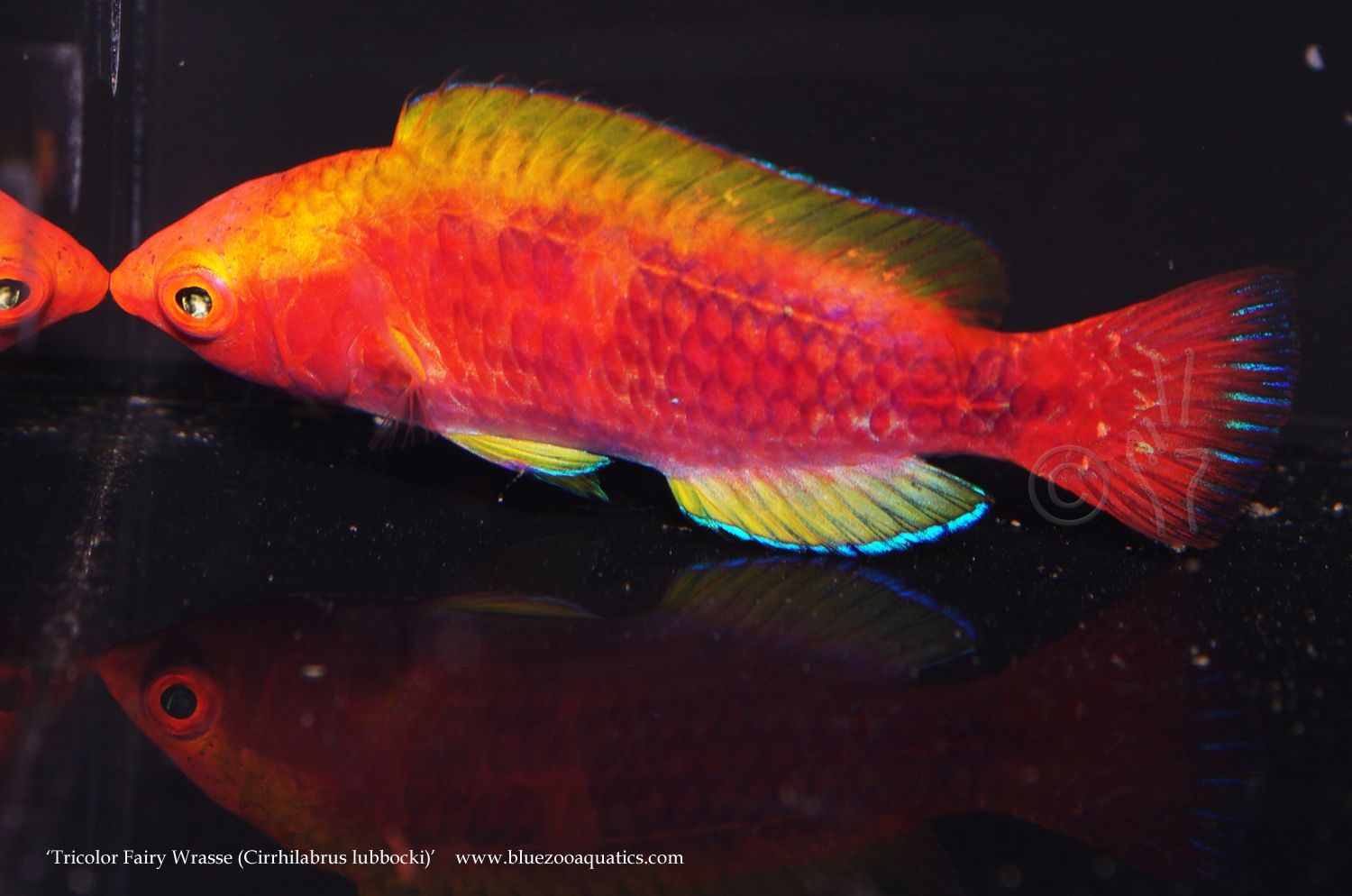 Collectors Choice Wysiwyg Item Tricolor Fairy Wrasse Cirrhilabrus Lubbocki Wrasse Tri Color Marine Aquarium