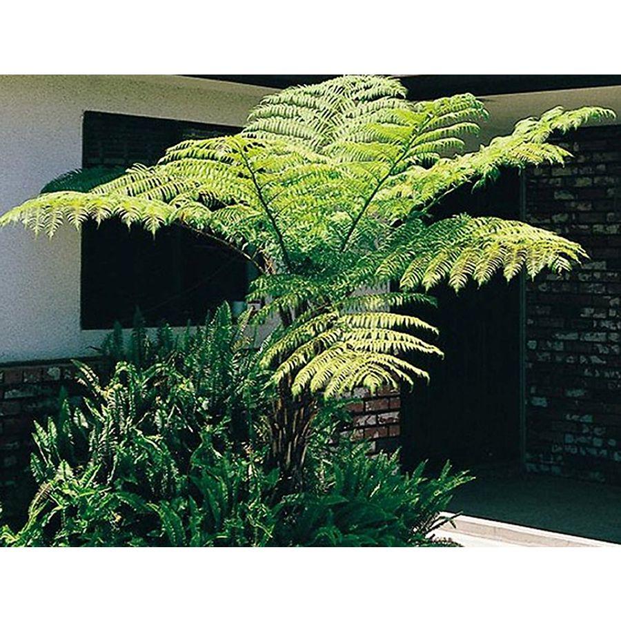 Australian tree fern l11787 with images australian