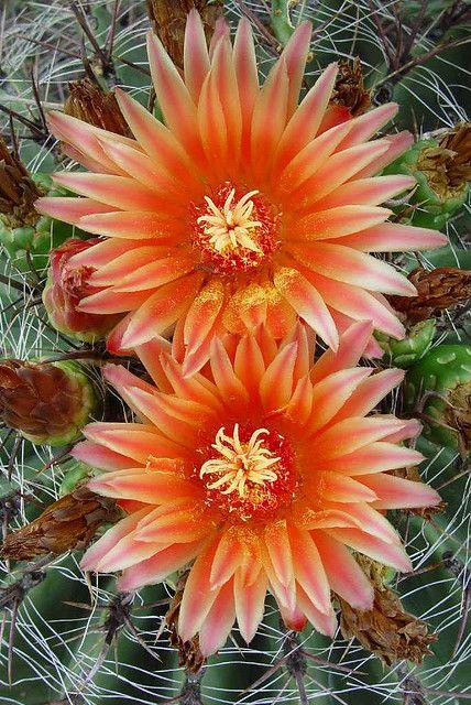 ✿*¨* Cactus en Flor *¨*✿   Barrel cactus blooms→ For more, please visit me at: www.facebook.com/jolly.ollie.77