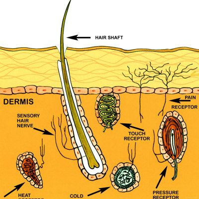 Sensory Nerves of the Skin - Sense of Touch   Science ~ Human ...