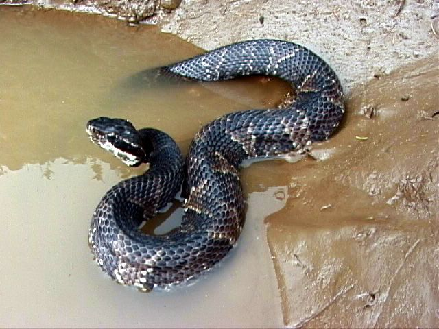The Water Moccasin Or Cottonmouth Snake Water Moccasin Snake Snake Reptile Snakes