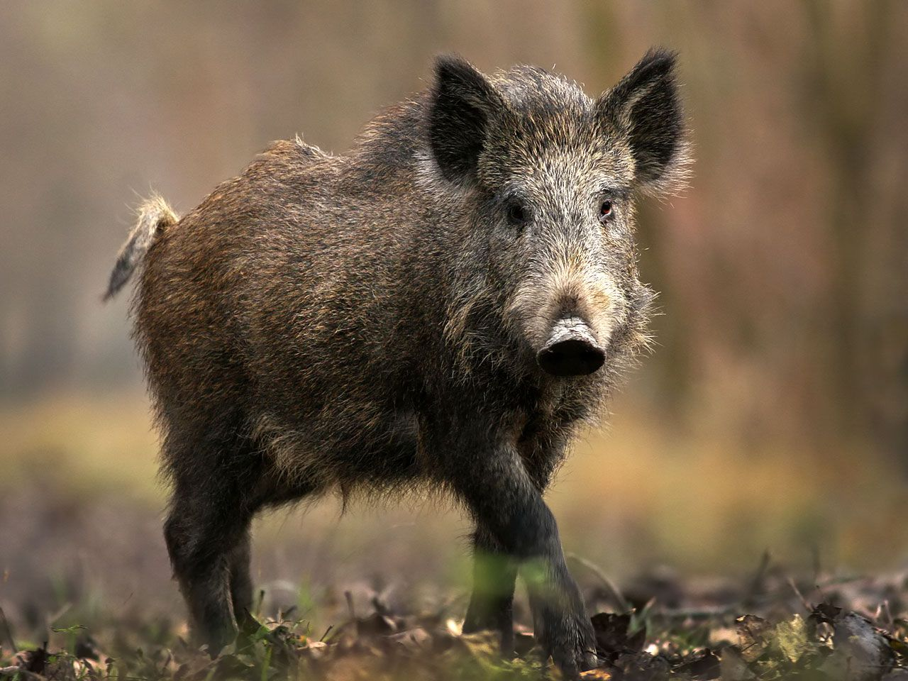 Image detail for -wild pig picture | HUNTING | Pinterest | Animal ...