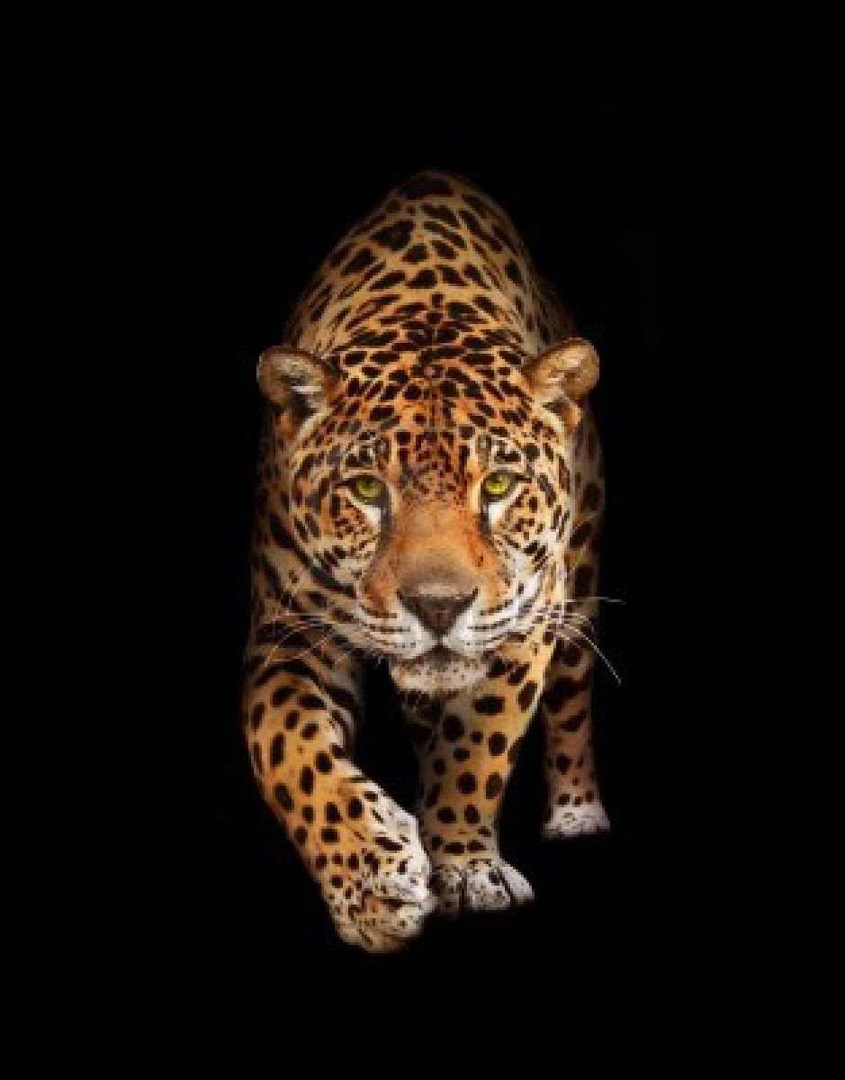 Spotted wild cat panther looking and walking to the - Animal black background wallpaper ...