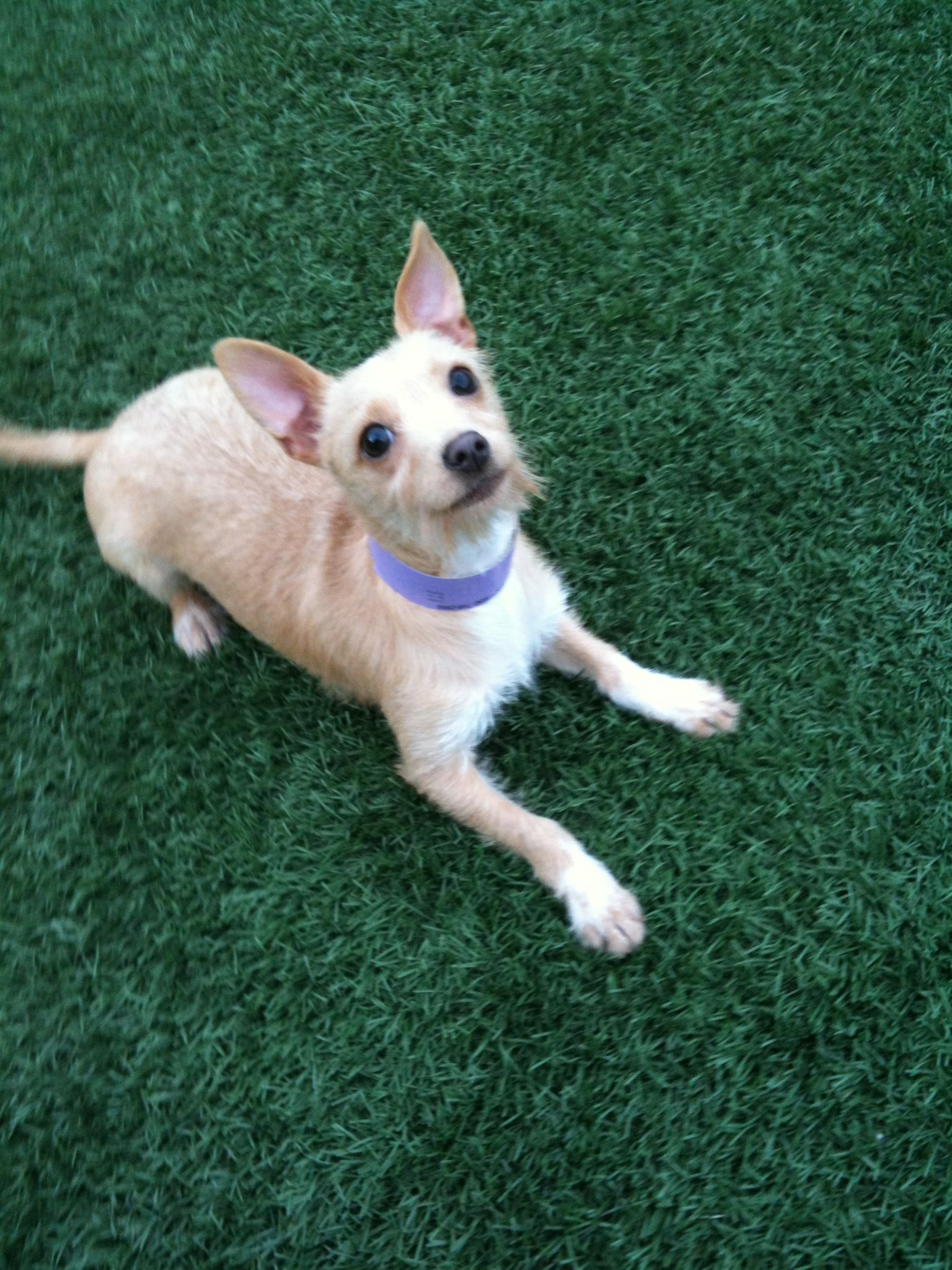 Genni is a chihuahua terrier mix puppy up for adoption at Lubbock