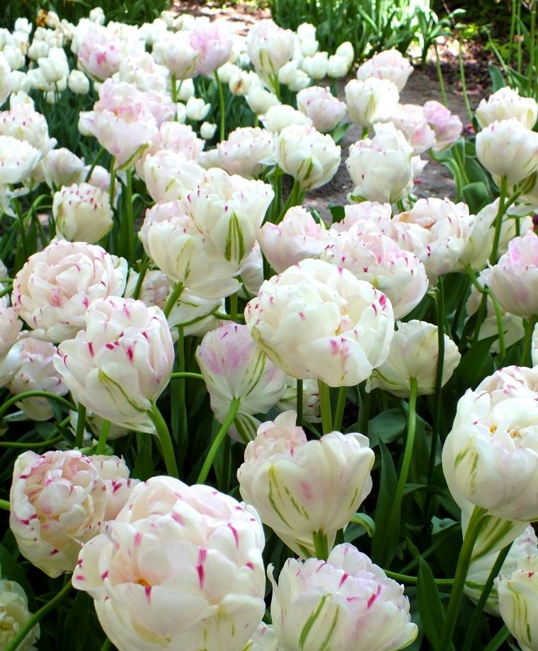 Tulip Danceline Danceline Has A Big Puffy Peony Like Flower That Opens Ivory With A Yellow Glow Variable Vertical Raspbe Bulb Flowers Tulips Flowers Tulips