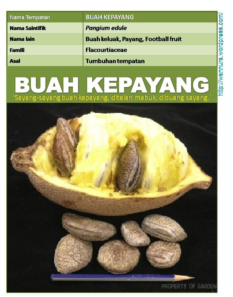 Tropical Fruits From Indonesia Kepayang Jpg 816 1040 Buah Mabuk Indonesia