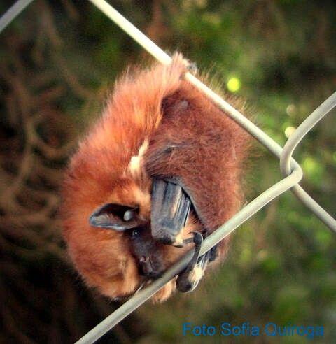 Cinnamon Red Bat found in Chile, Argentina, and Peru
