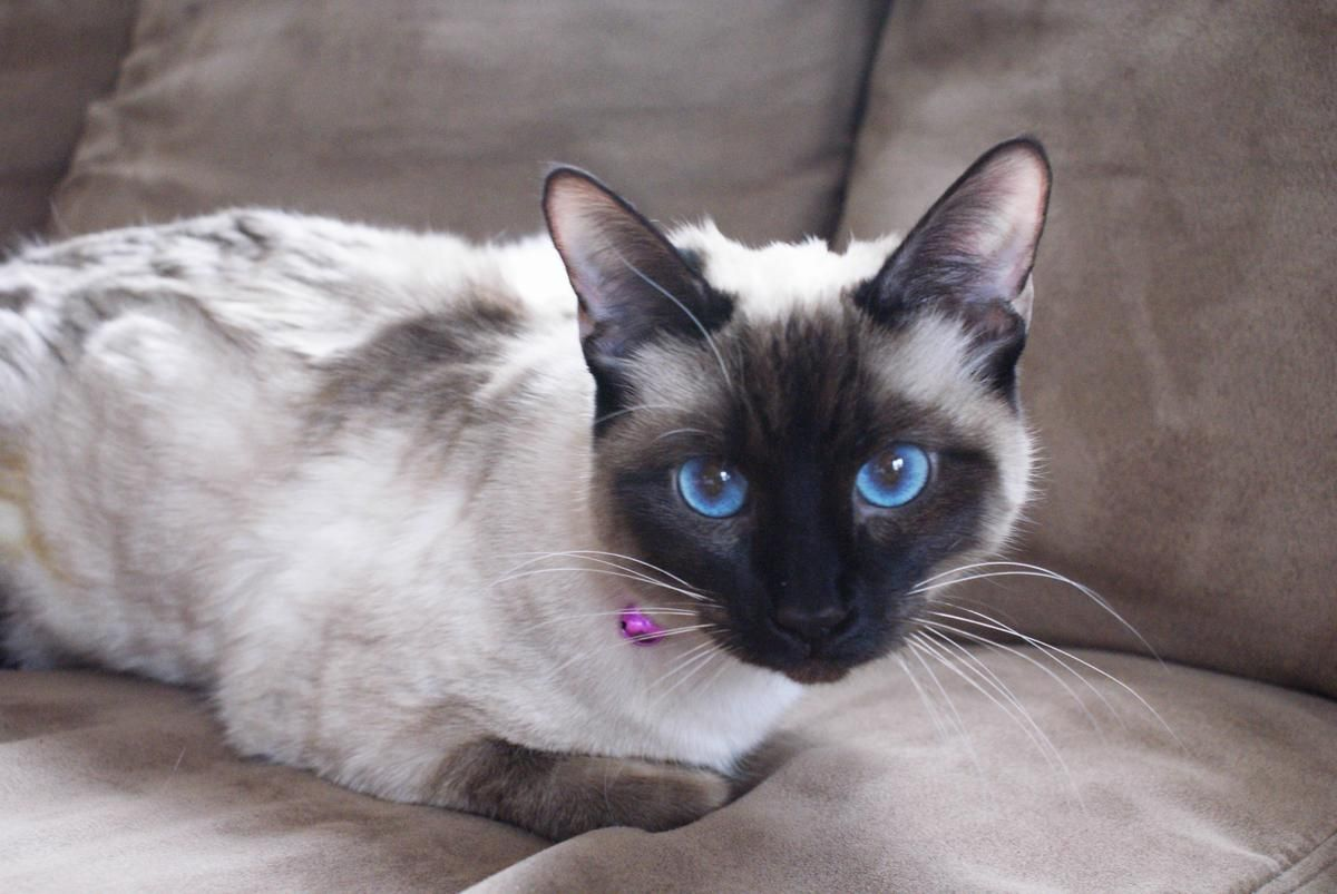 Valentino S Mom Cinder With Images Siamese Kittens Pretty Cats Cat With Blue Eyes